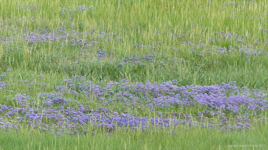 Sea lavender flowers growing on a salt marsh