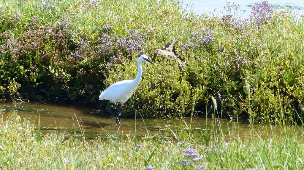 Ibis and sea lavender flowers on salt marsh