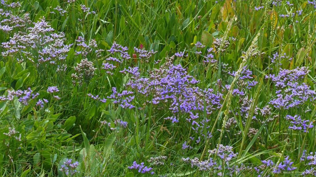 Sea Lavender flowers on salt marsh
