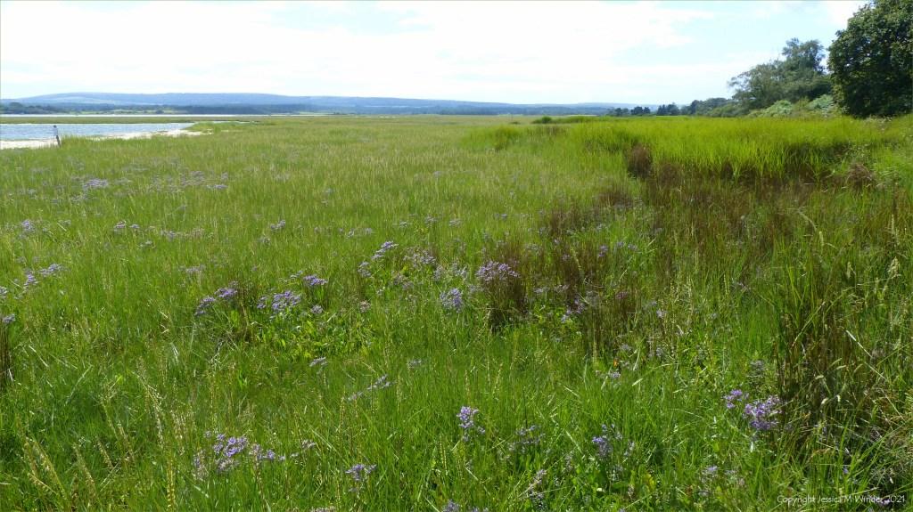 View of salt marsh vegetation at Arne in Dorset
