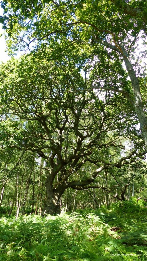 Ancient oak tree in a lowland dry oak and birch woodland habitat