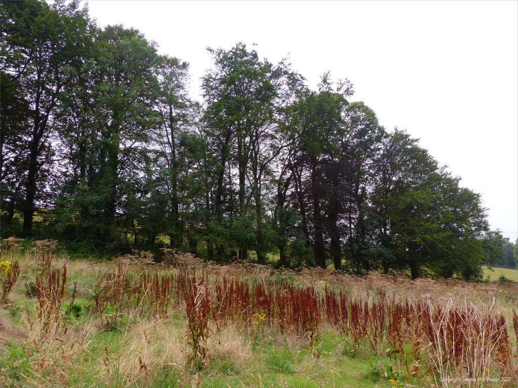 Tall trees bordering a field of dying hogweed and dock plants