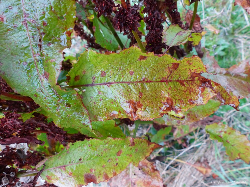 Red and green dying Dock leaf
