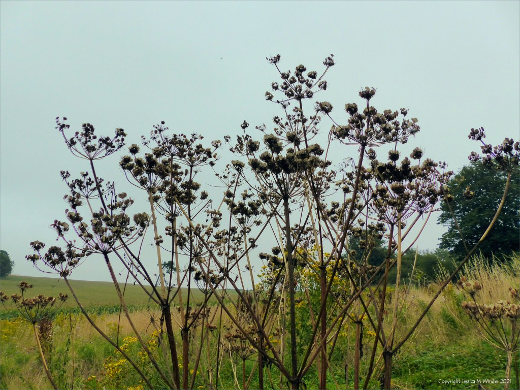 Seed heads on tall hogweed in a field