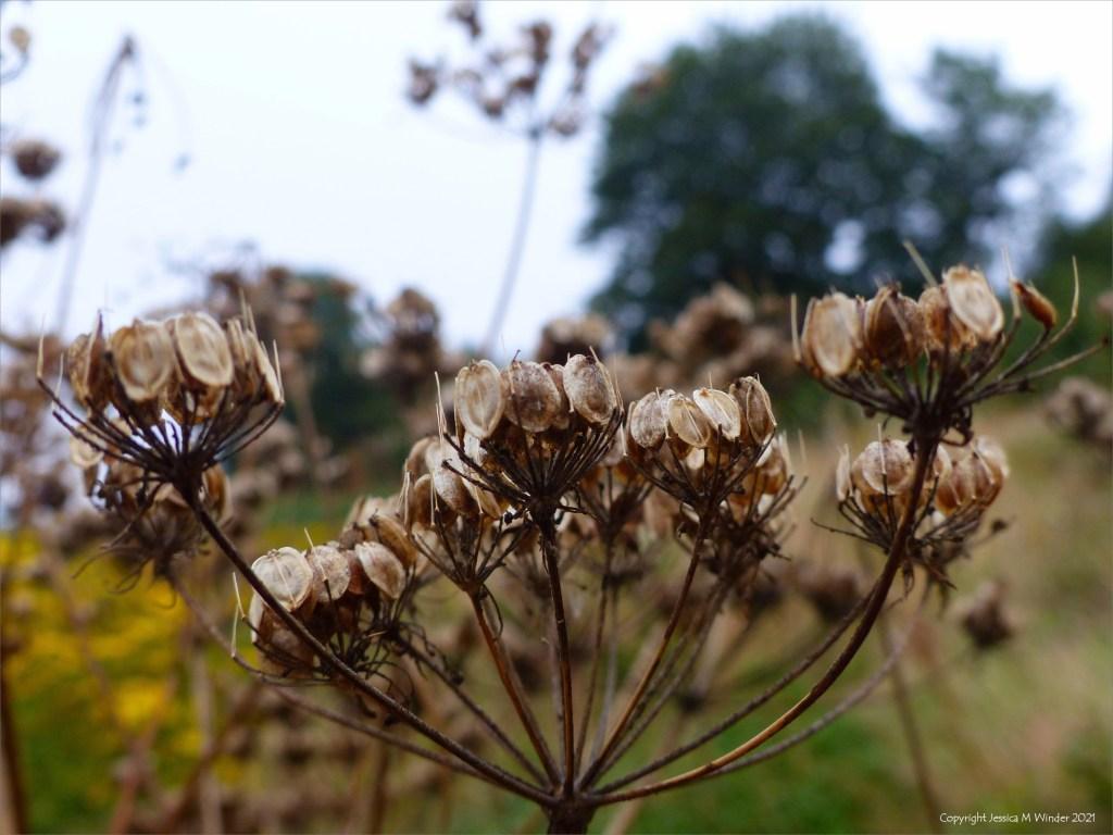 Seed head on Hogweed in a field