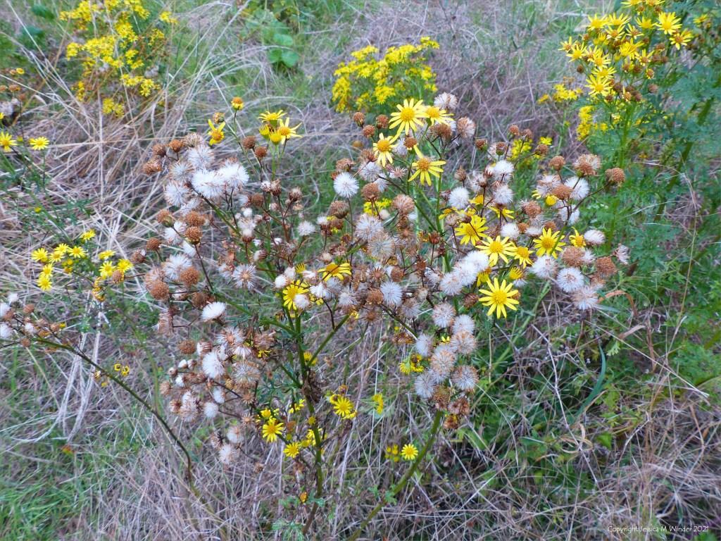 Yellow Ragwort flowers and downy seed heads