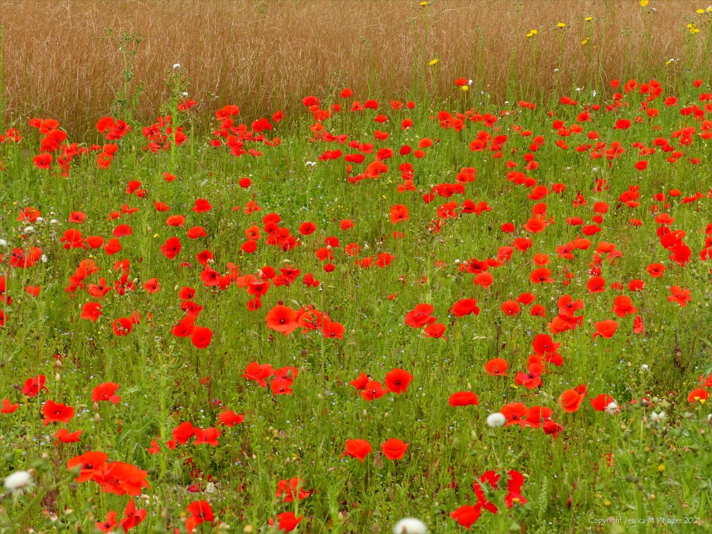 Common Poppies and Sow Thistles in an uncultivated field margin