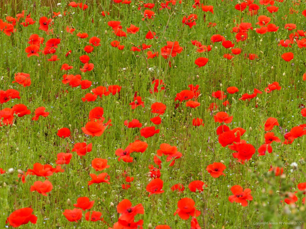 Common Poppies in an uncultivated field margin