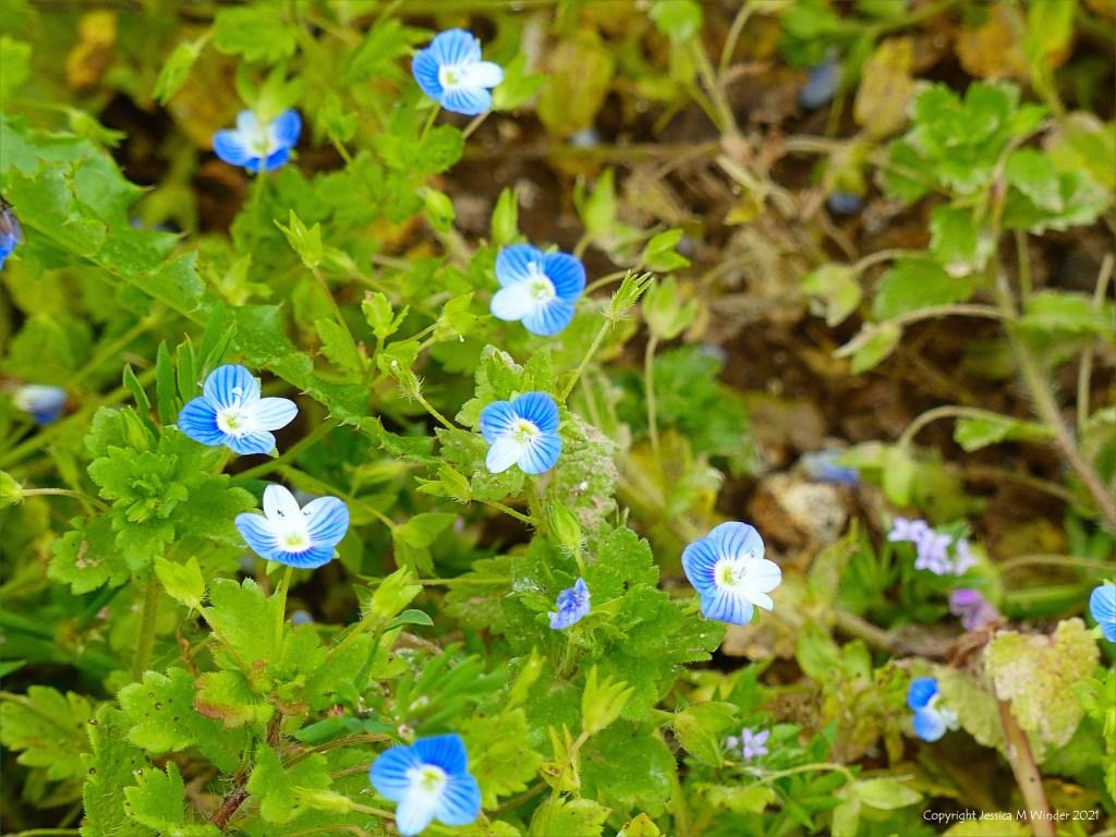 Blue flowers of Common Field-Speedwell growing in a field margin