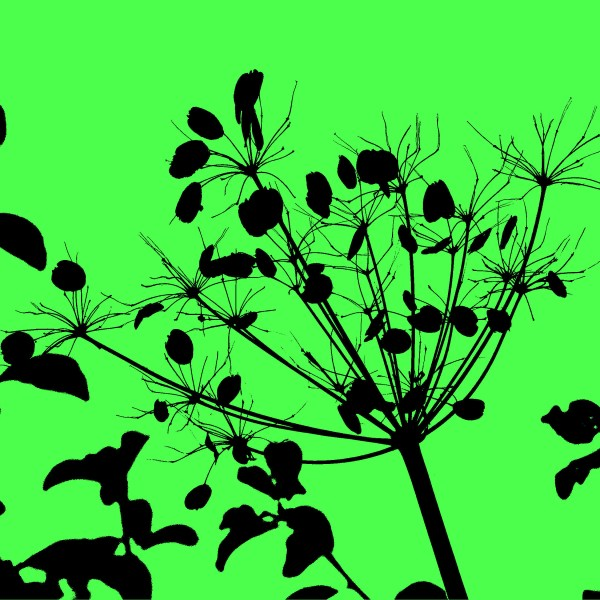 Silhouette of Hogweed in autumn