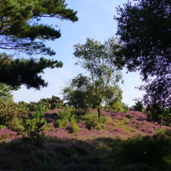 Heather, birch and gorse on the dunes at Studland