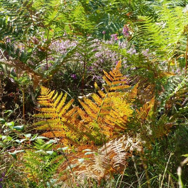 Bracken changing colour in autumn