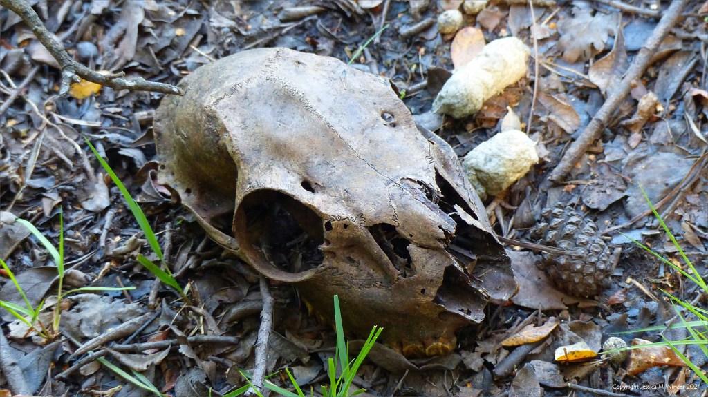 Stained old deer skull on woodland floor