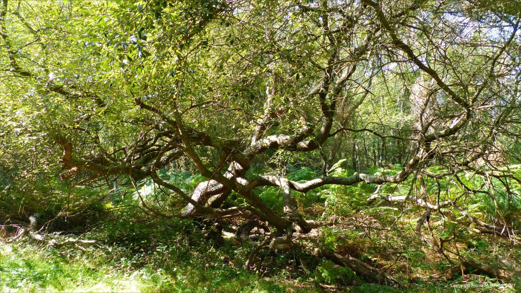 Contorted alder tree in wet woodland in early autumn