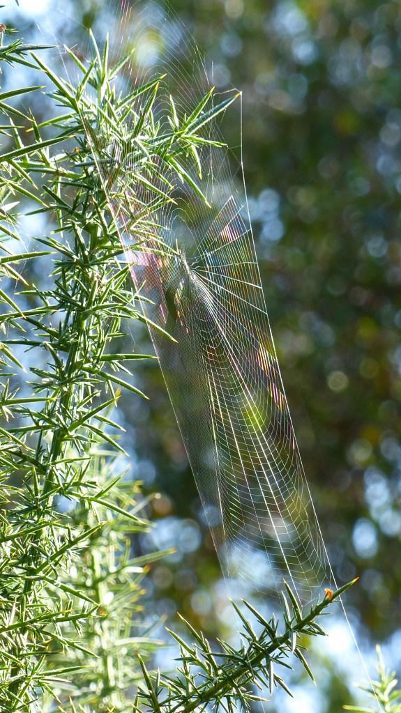 Spider's web on gorse