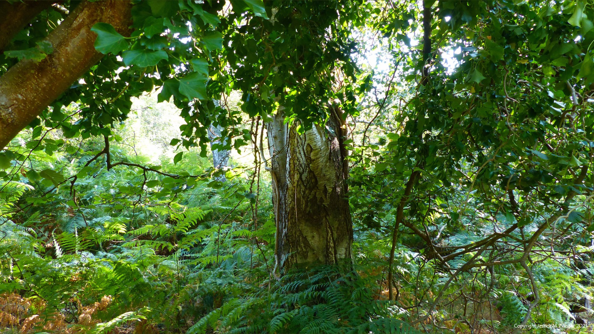 Birch tree in the woods with ferns