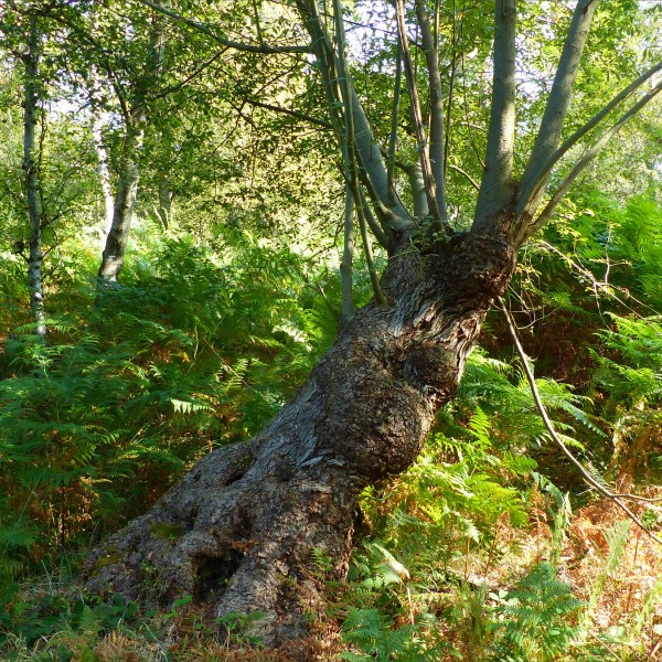 Pollarded tree with ferns and birches in woodland