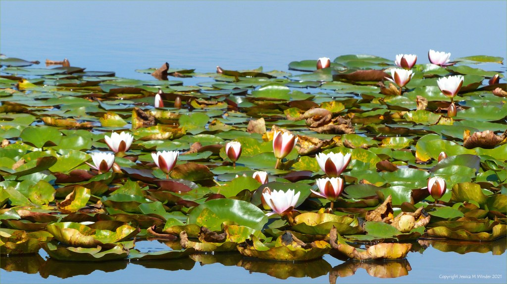 Water lilies on Little Sea lake at Studland in Dorset