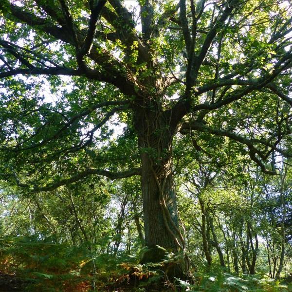 Old oak tree in woodland