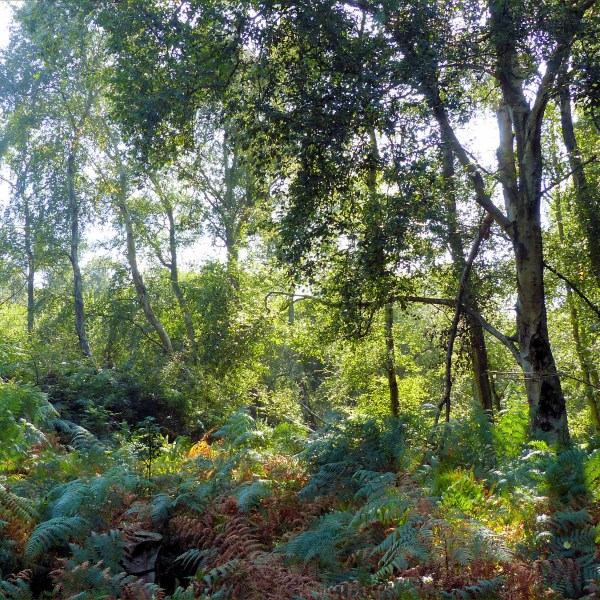 Sunlit birch trees and bracken
