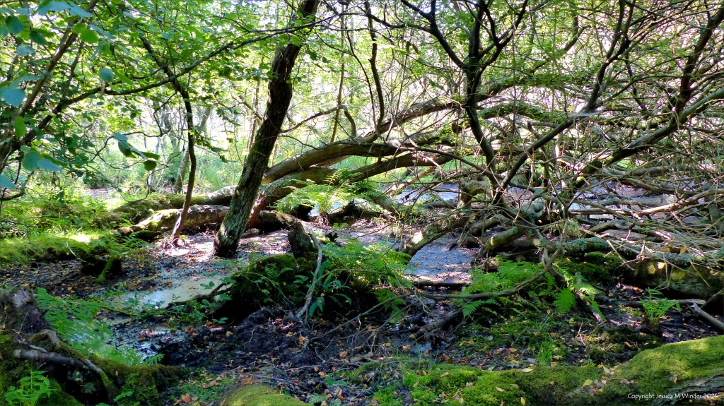 Wet woodland with trees and pools of water, ferns and moss