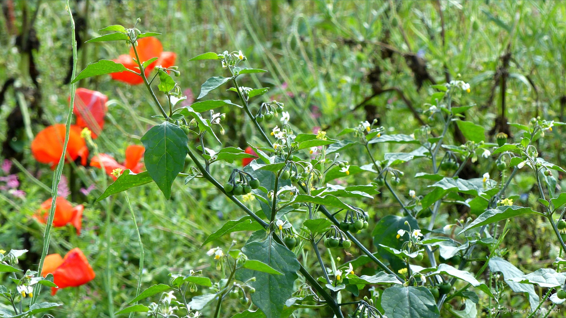 Black Nightshade (Solanum nigrum) with other arable weeds in a field margin