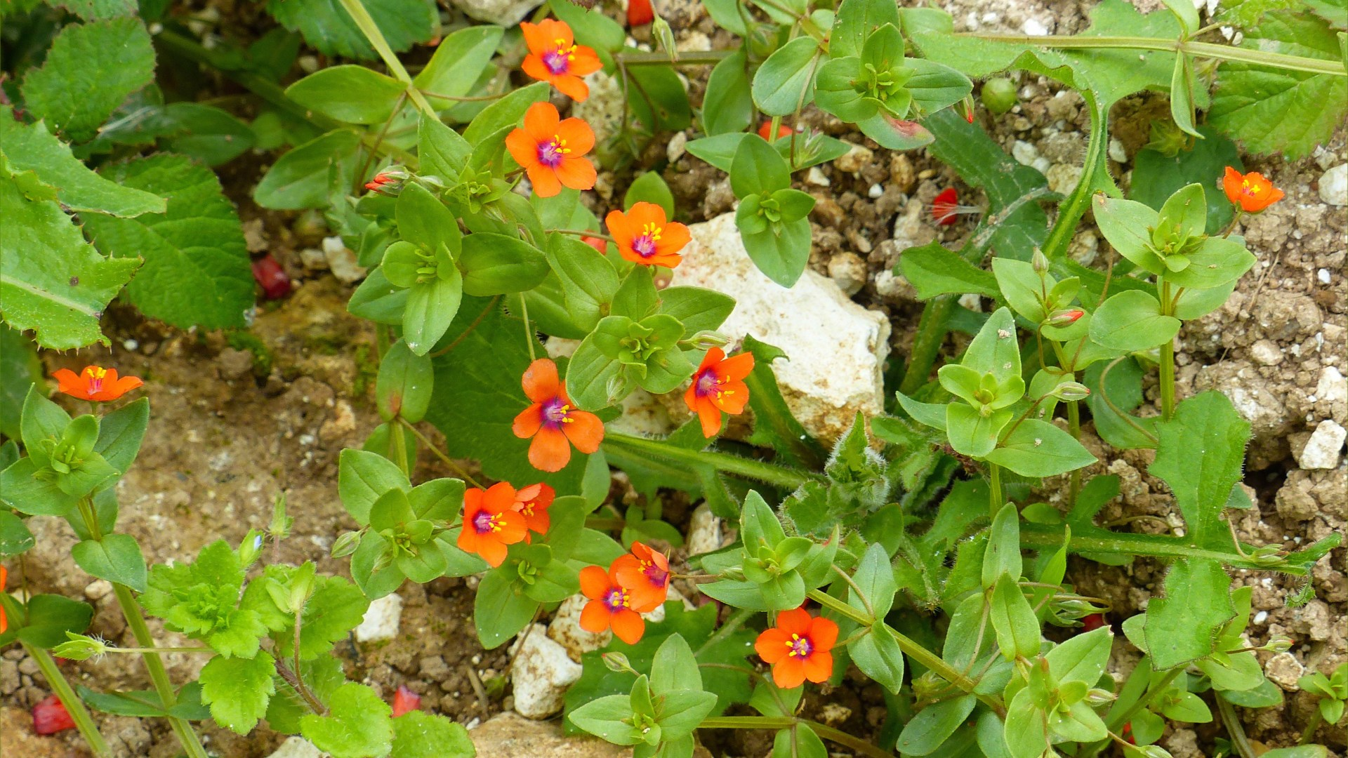 Small orange flowers of Scarlet Pimpernel growing on uncultivated stony ground margin of a maize field
