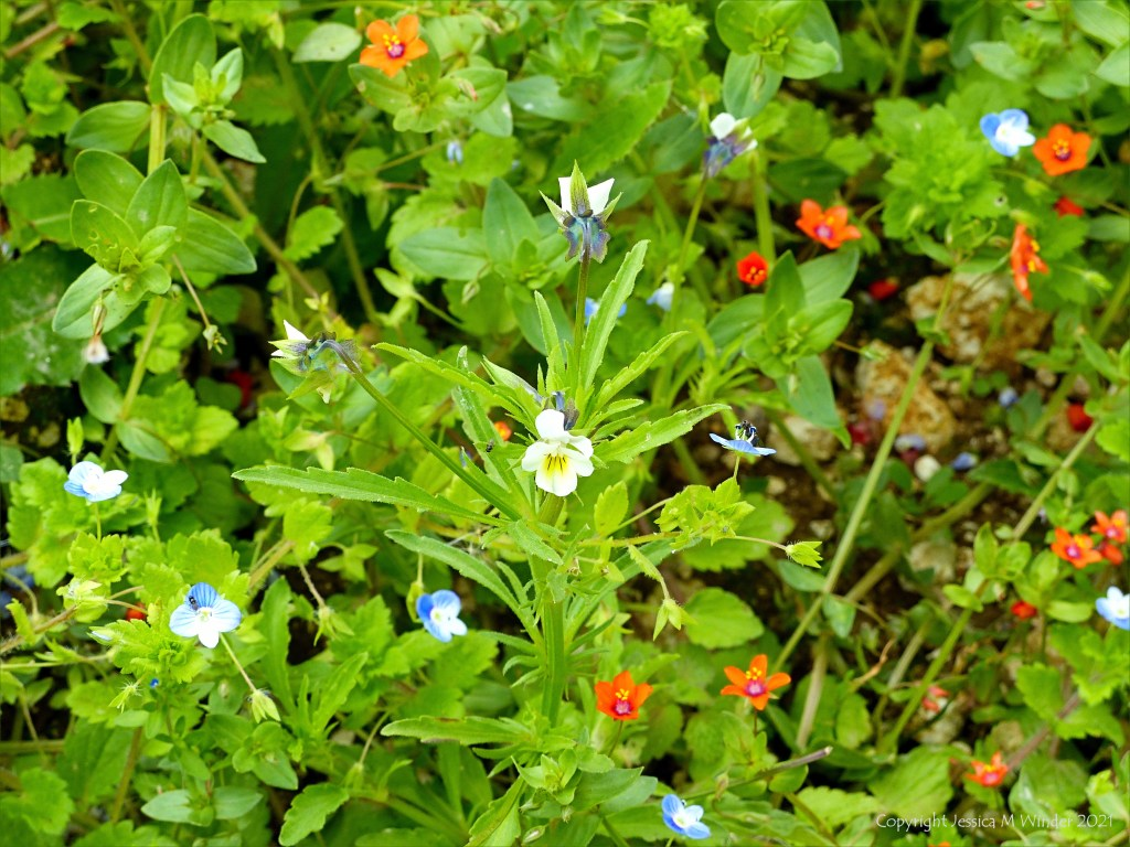 Field pansy flower growing in an uncultivated arable field margin with other weeds
