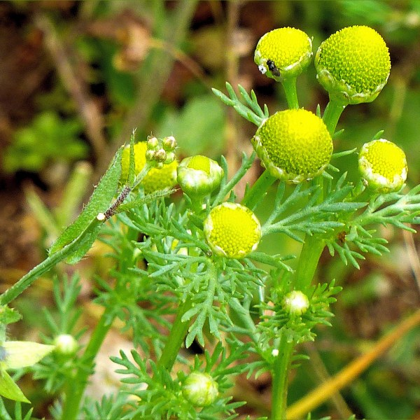 Close-up of Pineapple Mayweed flowers (Matricaria discoidea)
