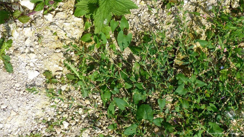 Black-bindweed with Knot Grass in an uncultivated field margin