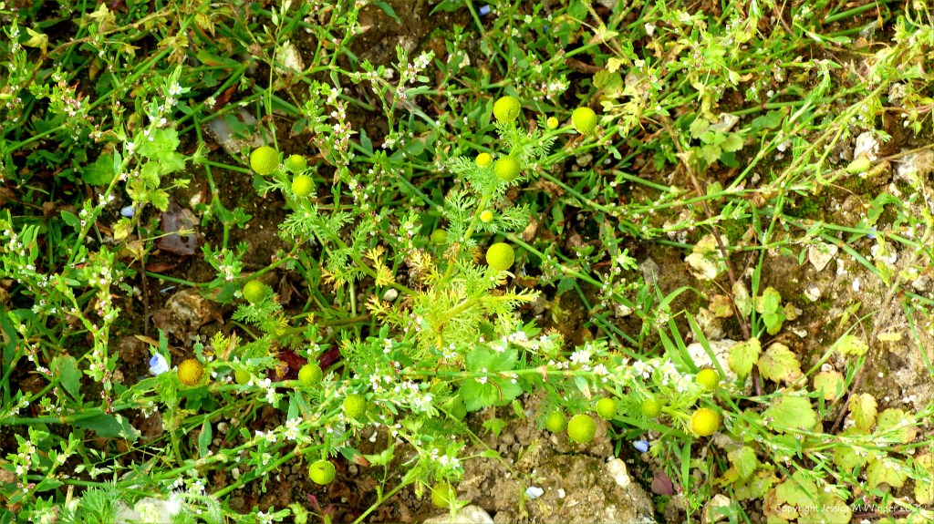 Pineapple Mayweed flowers (Matricaria discoidea) among other arable weeds