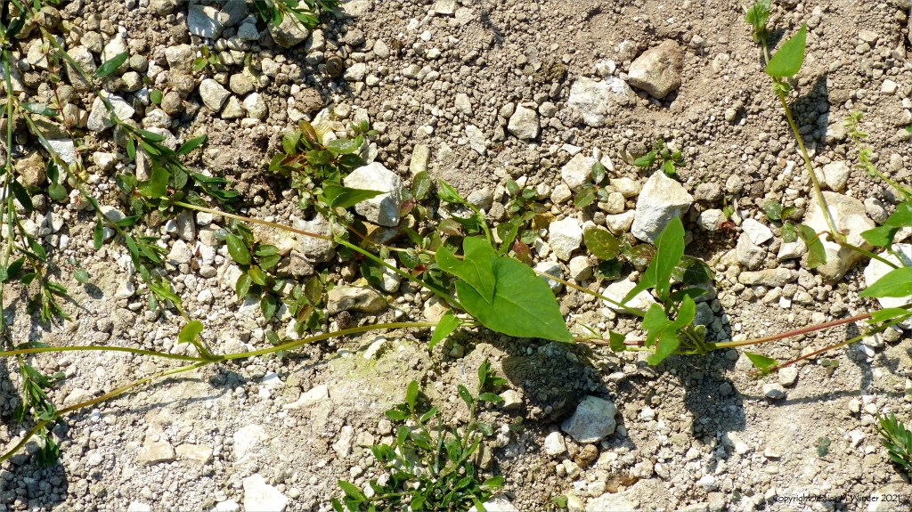 Black-bindweed  in an uncultivated field margin