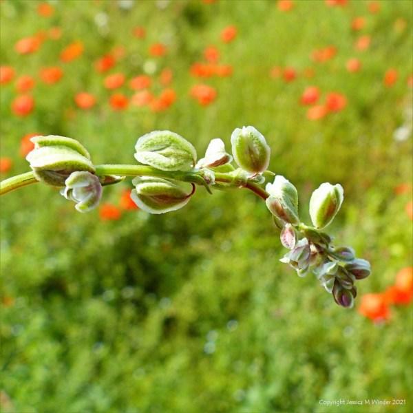 Flowers of Black-bindweed in an uncultivated field margin