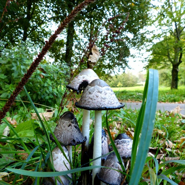Shaggy Ink Cap toadstools (Coprinus comatus) with open caps in grass and trees
